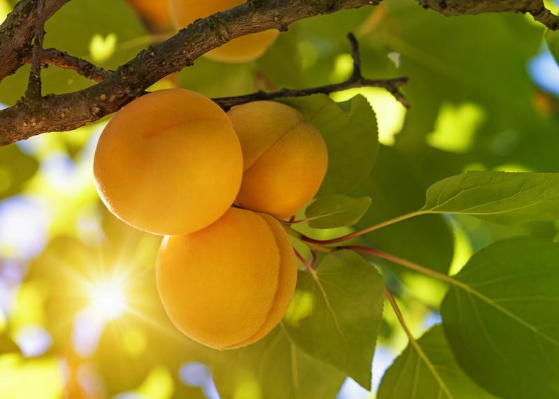 Опасные заболевания и вредители абрикоса