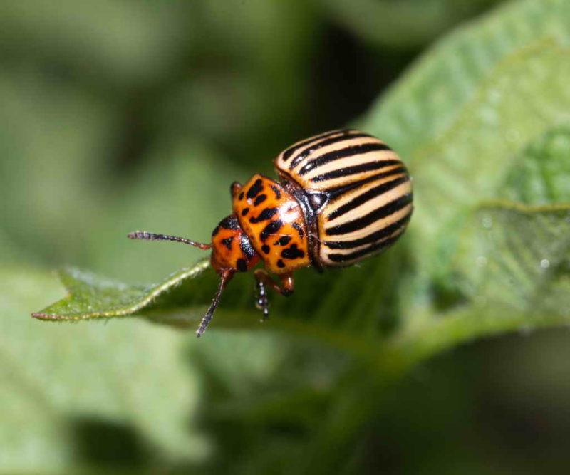 Как бороться с колорадским жуком: 5 работающих способов