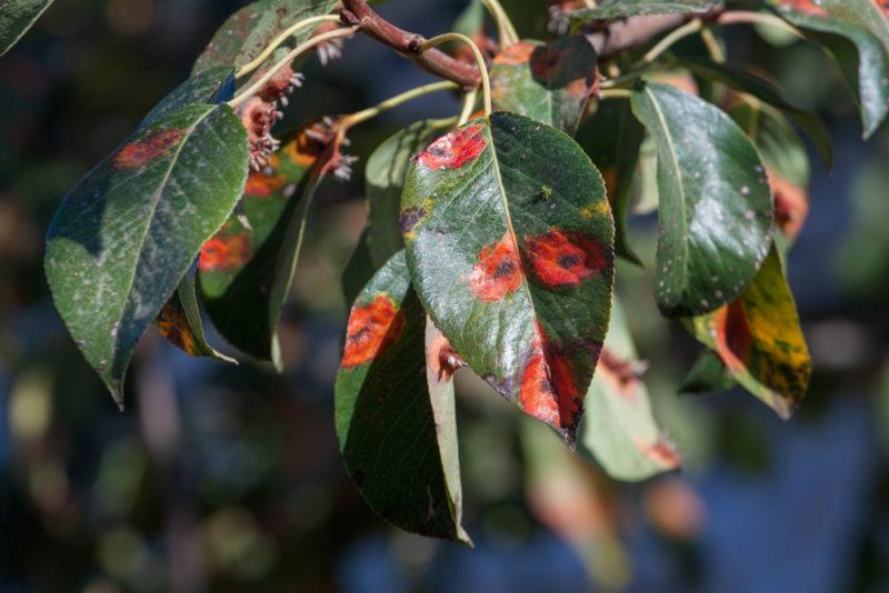 На груше чернеют и скручиваются листья? Расскажем, что делать в таком случае