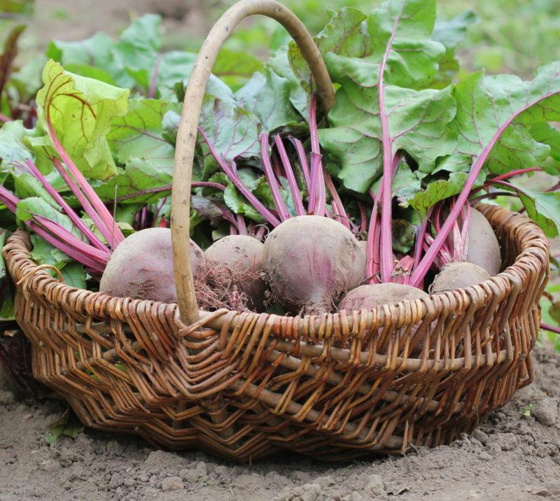 Чем лучше удобрить свеклу летом, чтобы осенью вы собрали щедрый урожай