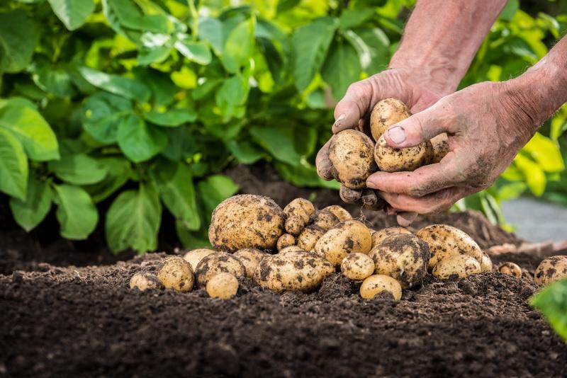 Почему чернеет ботва у картофеля: причины и меры профилактики