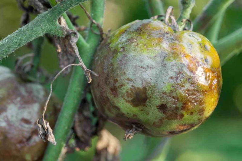 Как эффективно бороться с фитофторозом томатов