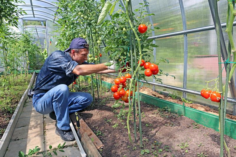 Формирование помидоров: правильное удаление пасынков и листьев