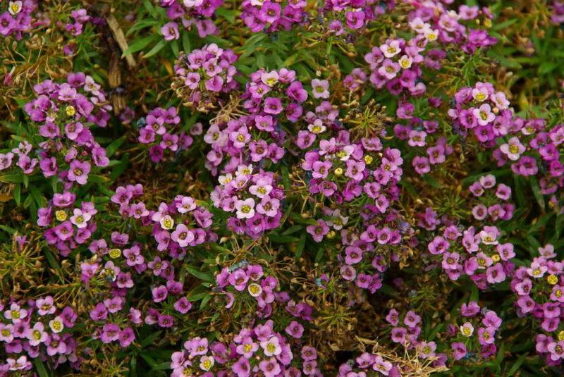 Украшение клумб на вашем участке — шикарные почвопокровные первоцветы
