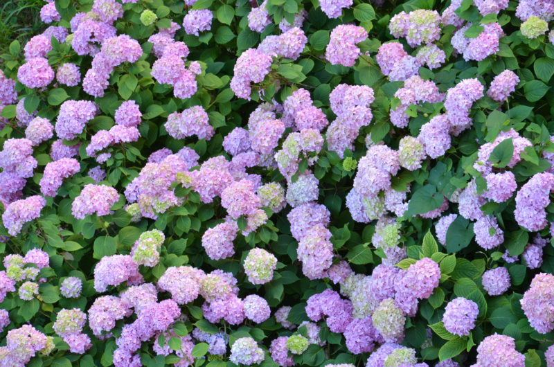 Гортензия — украшение садового участка: как добиться пышного и яркого цветения, правила посадки и ухода