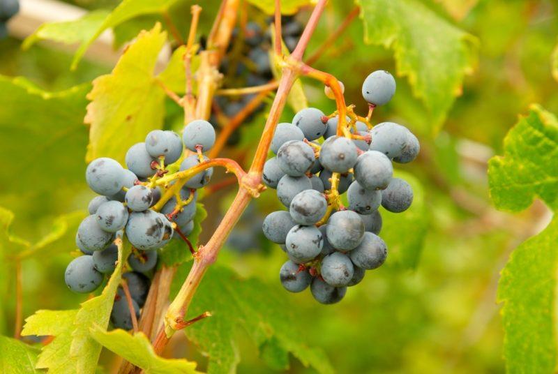 Основные причины засыхания винограда. Первая помощь