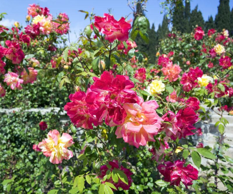 9 красивейших сортов бордюрных роз