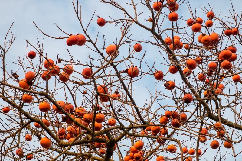 Хурма Россиянка: субтропический фрукт в холодном климате