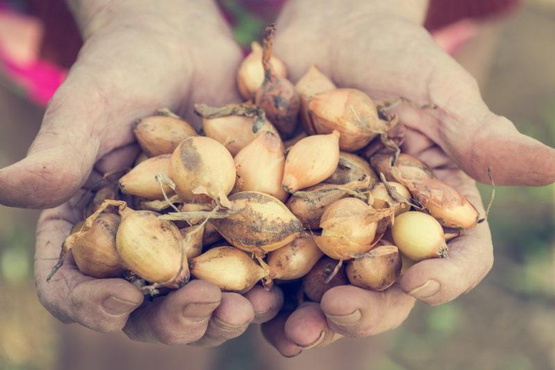Преимущества замачивания лука в содовом растворе перед посадкой