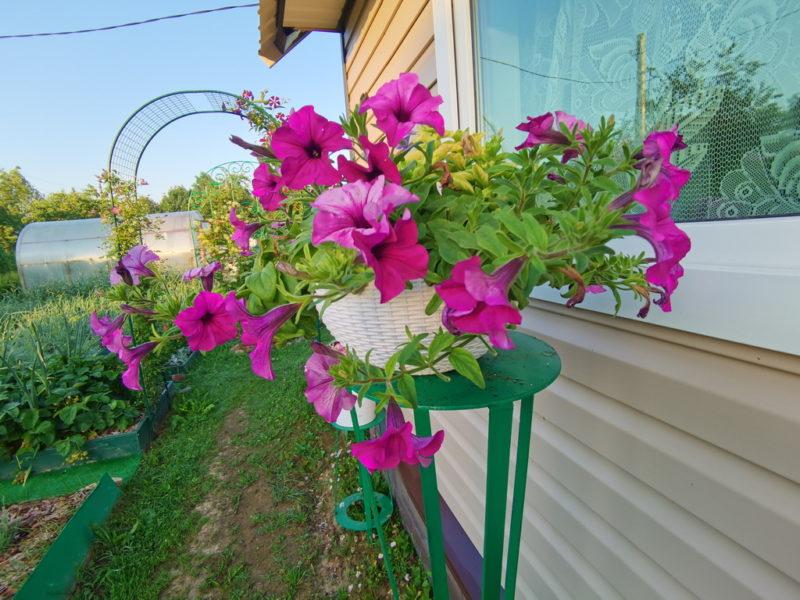 Правильный уход за петуниями в июле — приемы, улучшающие цветение
