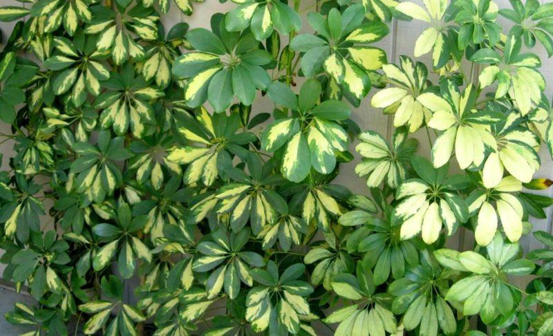 Шеффлера — красивое растение, которому не требуется трудоемкий уход