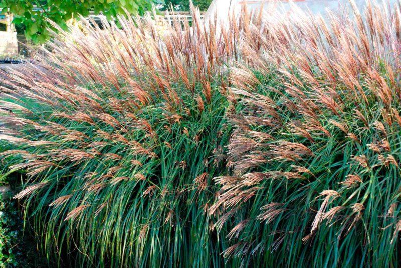 Злаковые растения: неприхотливое украшение дачного участка