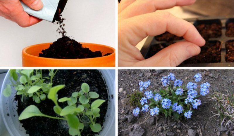 Незабудки: как вырастить из семян и особенности ухода