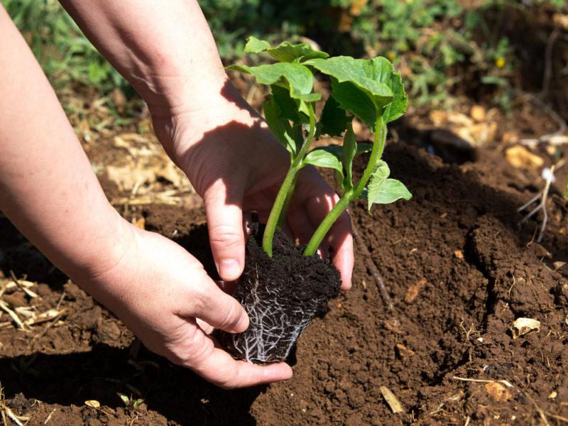 Правила прищипки тыквы для получения обильного урожая