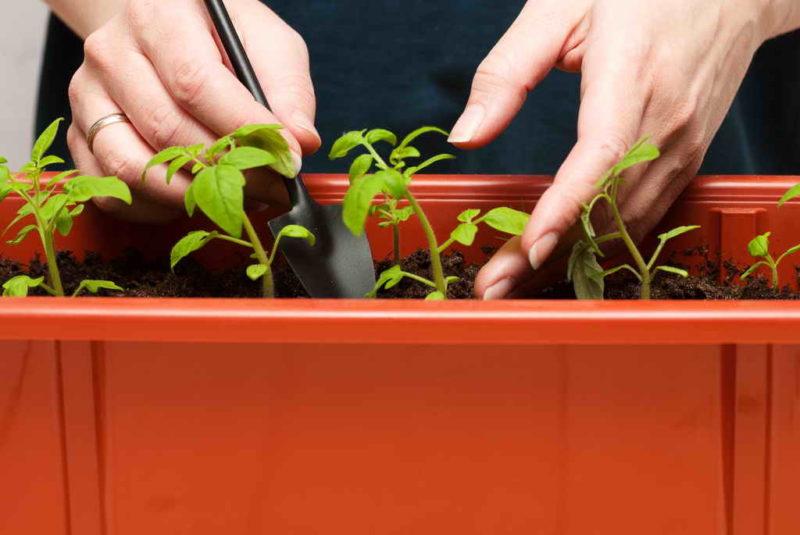 Пикировка рассады томатов и перца: как это сделать правильно и не навредить растениям