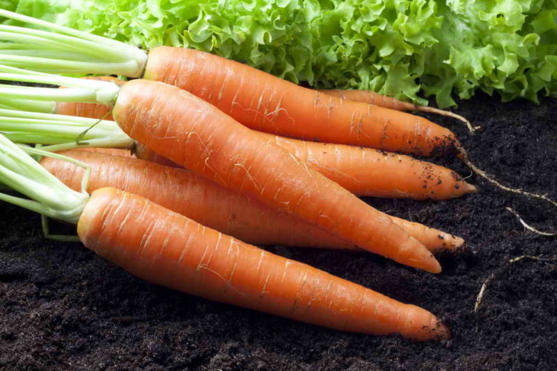 Посадка моркови без прореживания: хитрости огородников