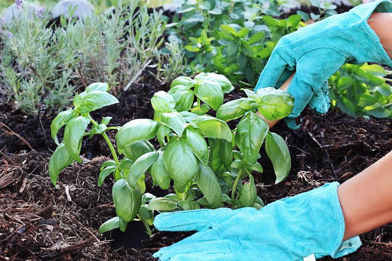 Сажаем в июле: овощи, зелень и бобовые