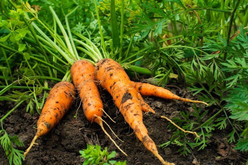 Как обмануть природу? Выращиваем морковь на суглинке
