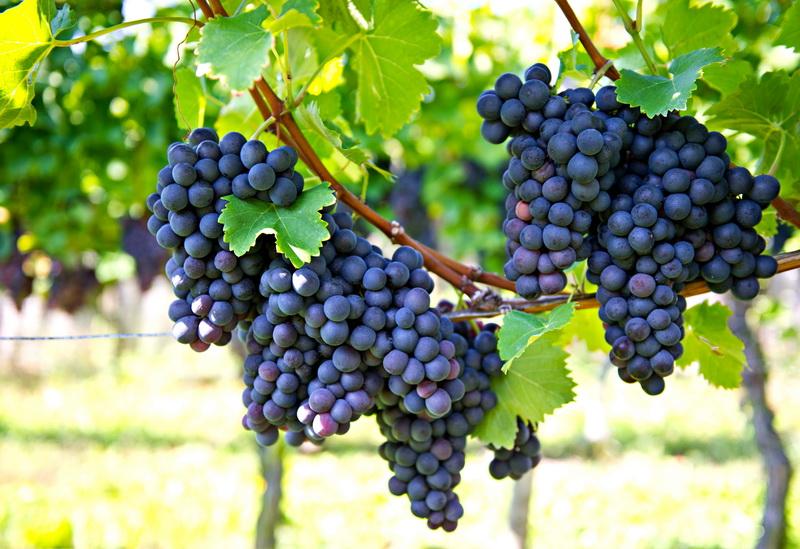 Август — пора ухода за виноградной лозой