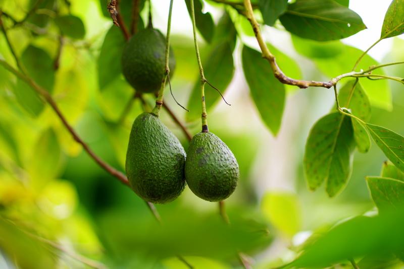 Способы дозревания авокадо в домашних условиях