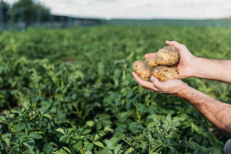 Размножение картофеля с помощью ростков