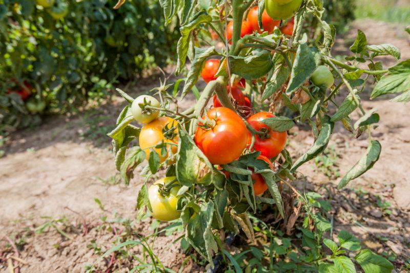 Уход за томатами в августе: 7 необходимых действий