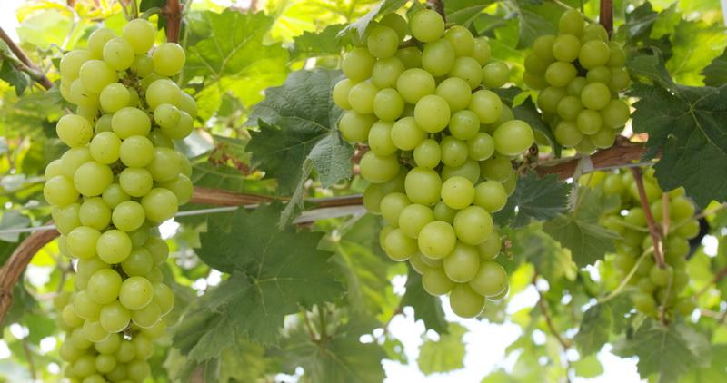 Топ лучших сортов винограда с отличной морозоустойчивостью