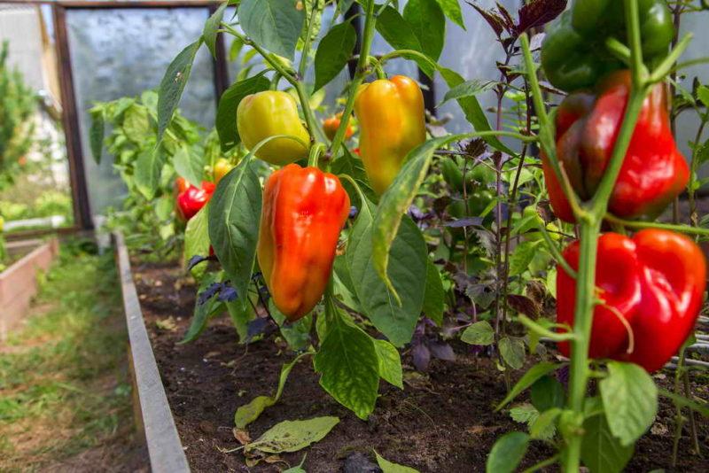 Что нужно делать, чтобы избежать деформирования плодов у перца