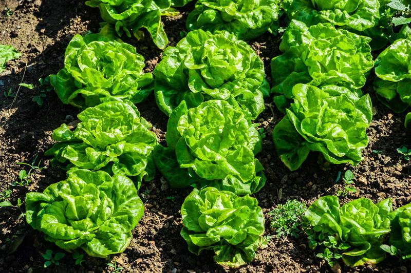 Порадуйте себя вкусной и полезной капустой: на какие сорта стоит обратить внимание