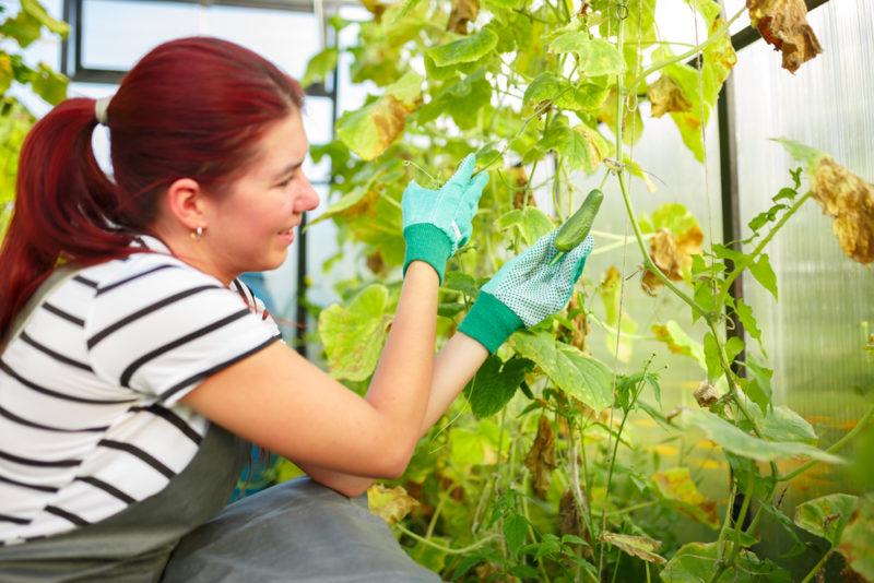 Желтая листва на огурцах: причины и способы борьбы