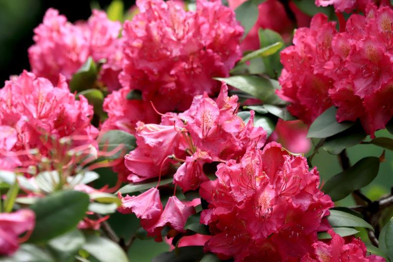Как размножить розы черенками в осенний период