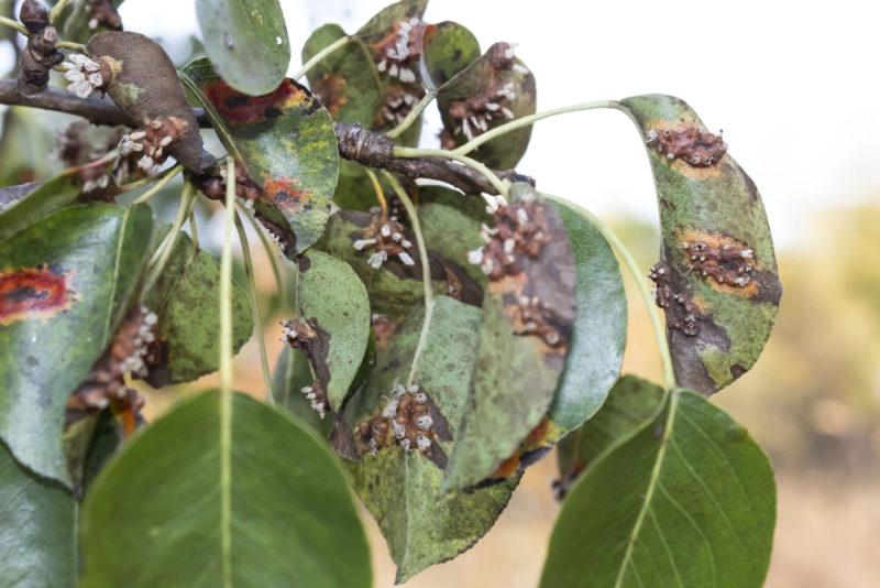 Парша на яблоне и груше: пути решения проблемы