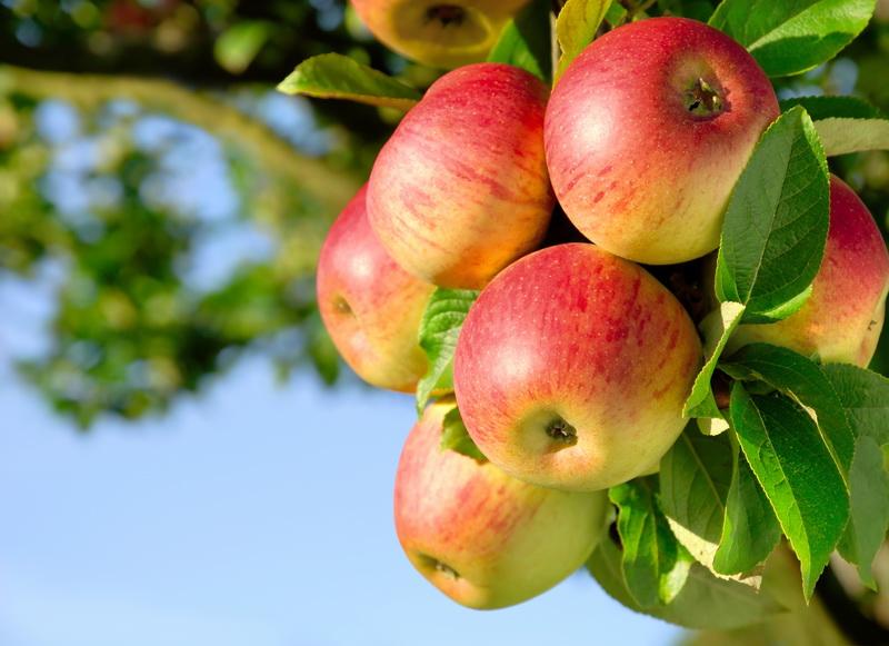 Выращиваем яблоню Грушовку