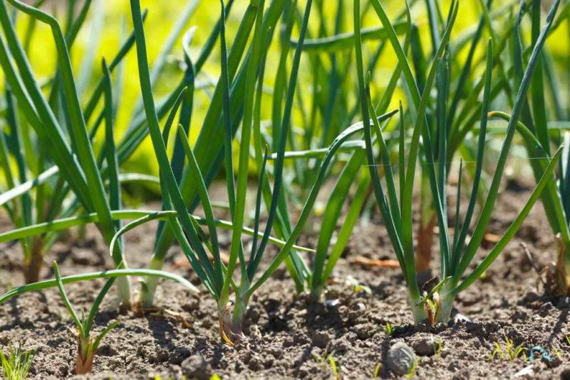 Растения для теплицы — высаживаем после сбора урожая