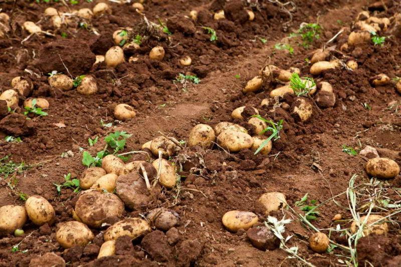 Уборка картофеля: скашивать ли ботву