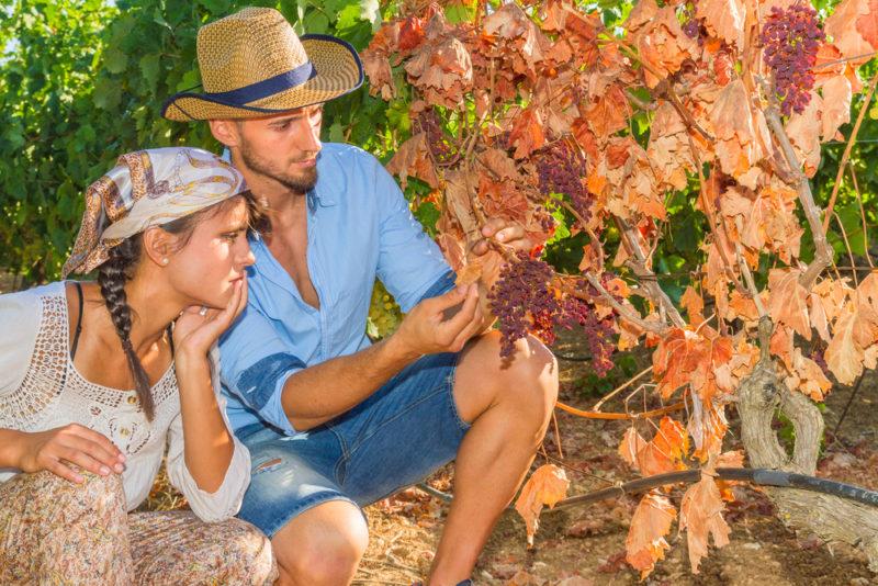Что предпринять, если на листьях винограда появились пятна