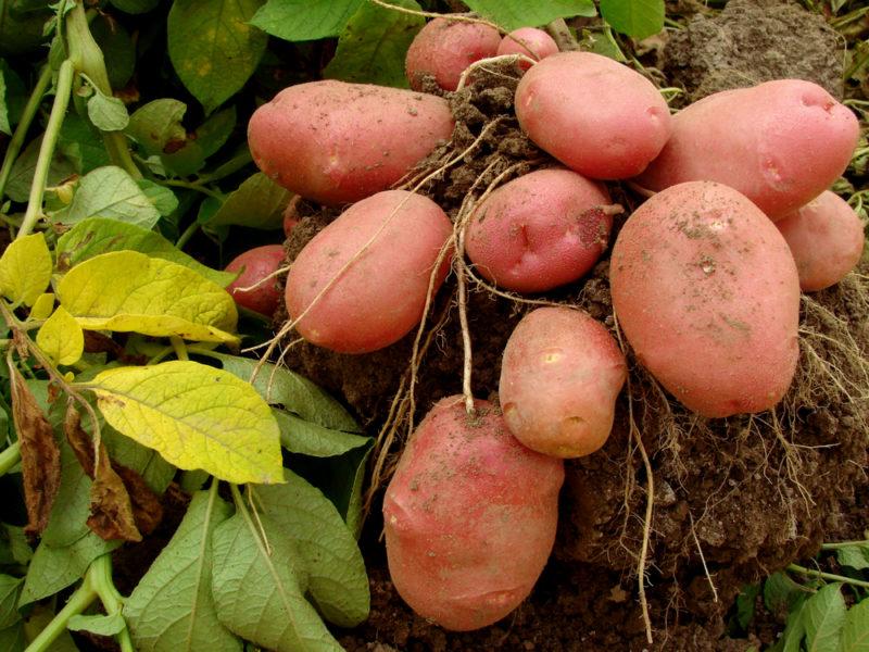 Выкапываем картошку вовремя, или Как определить сроки созревания корнеплодов