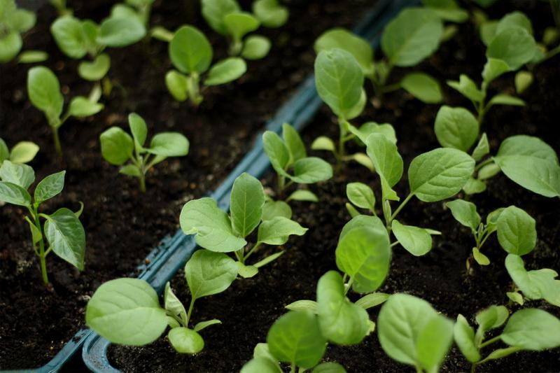 Пикировка рассады капусты: мастер-класс из 9 важных пунктов