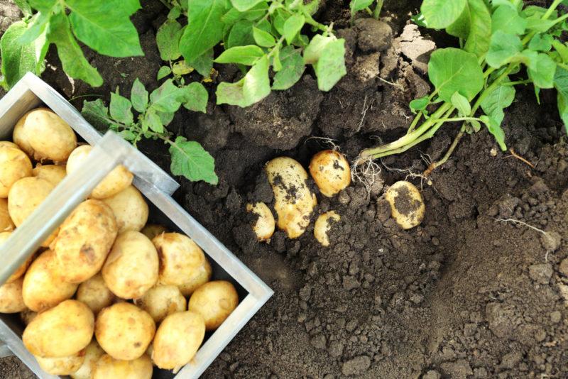 Как повысить урожайность картофеля и собрать 40 ведер с 20 кустов