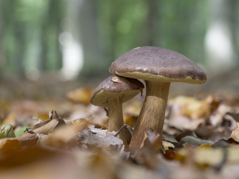 Разноцветные моховики: съедобные грибы лиственных и хвойных лесов