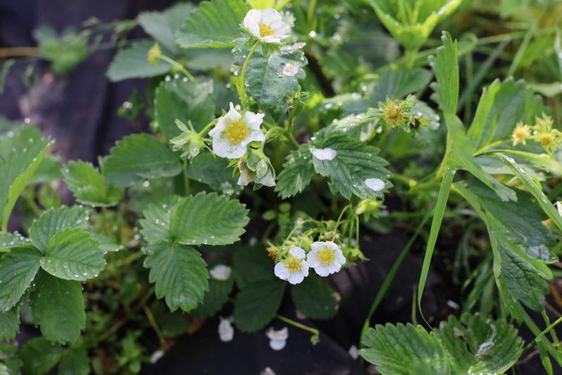 И урожайность повысить, и кусты защитить: узнайте, как обеспечить надлежащий уход за клубникой весной