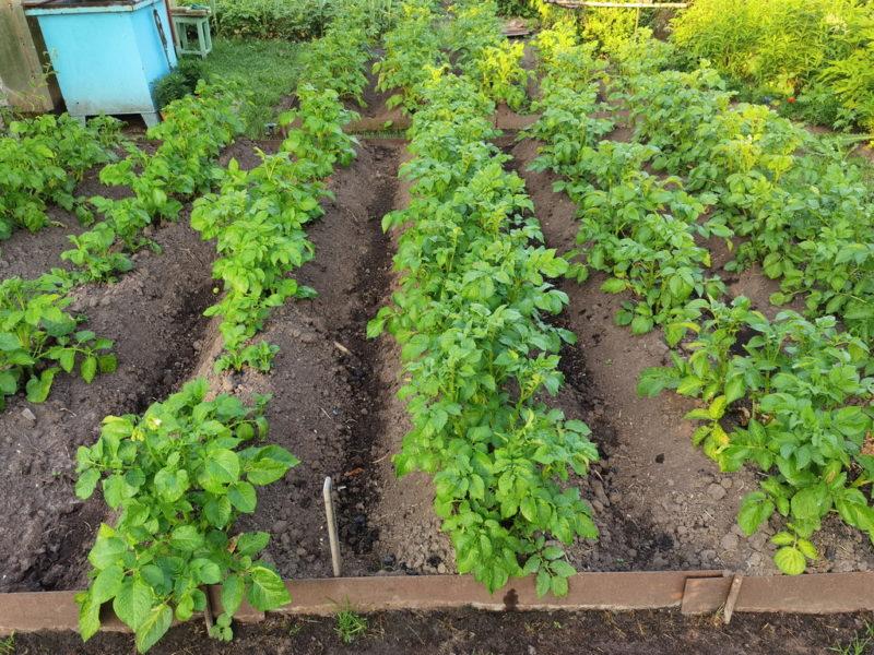 Сооружение грядки-короба для картофеля, томатов и клубники