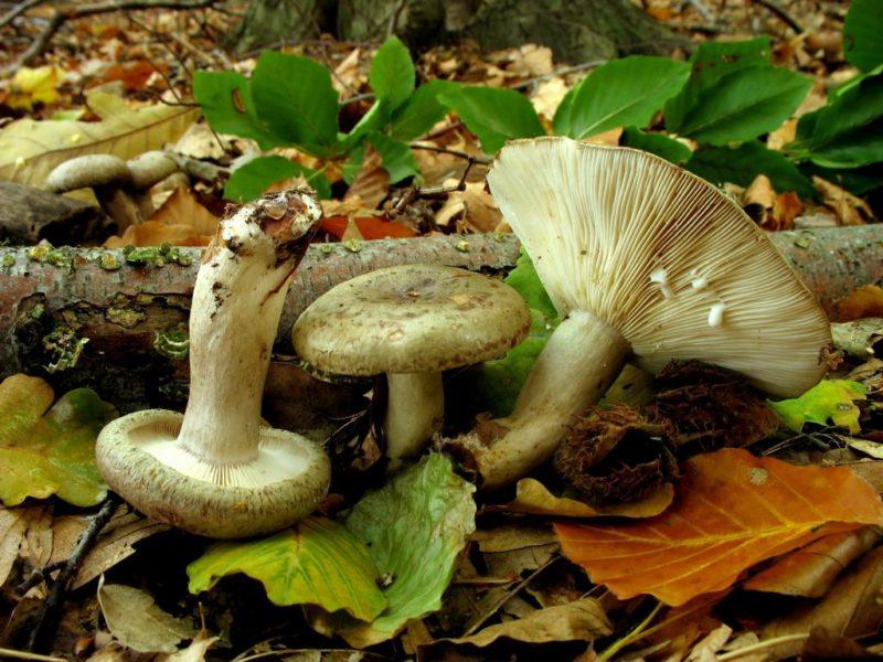Характеристика разновидностей грибов рода Млечники