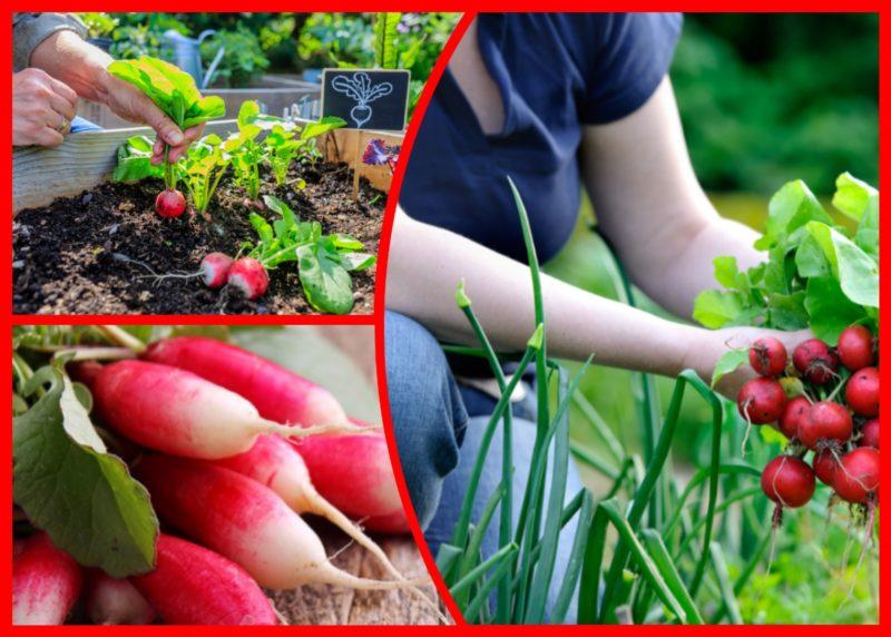 Какие ранние сорта редиса сажать, чтобы получить урожай еще весной