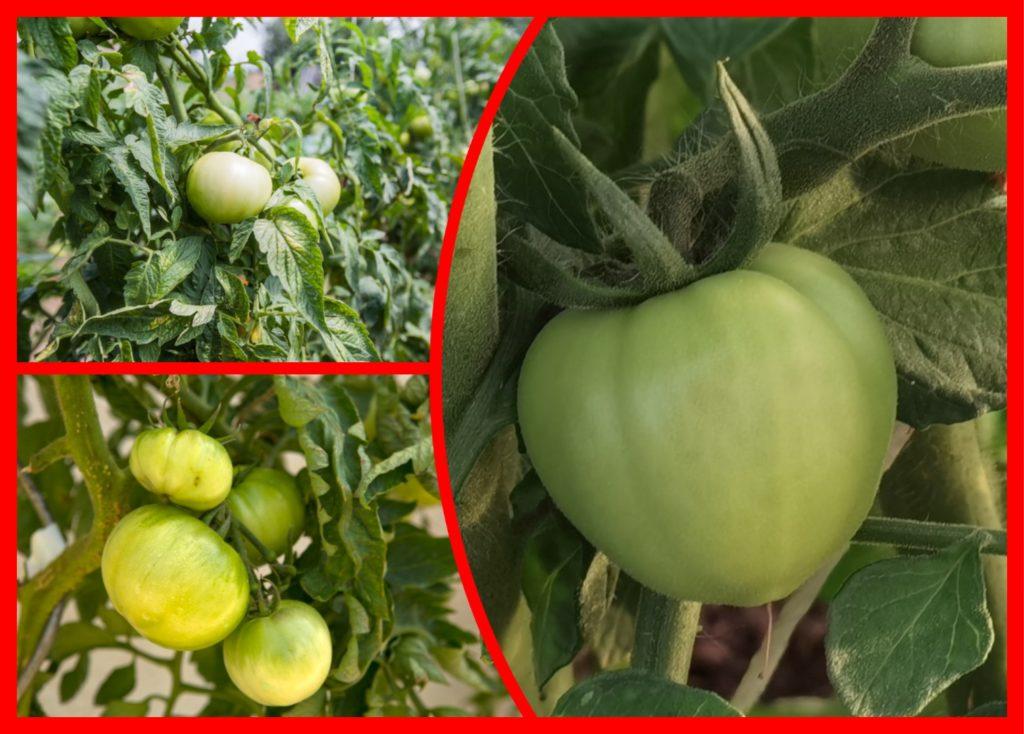 Дозревание зеленых помидоров в домашних условиях: несколько простых способов