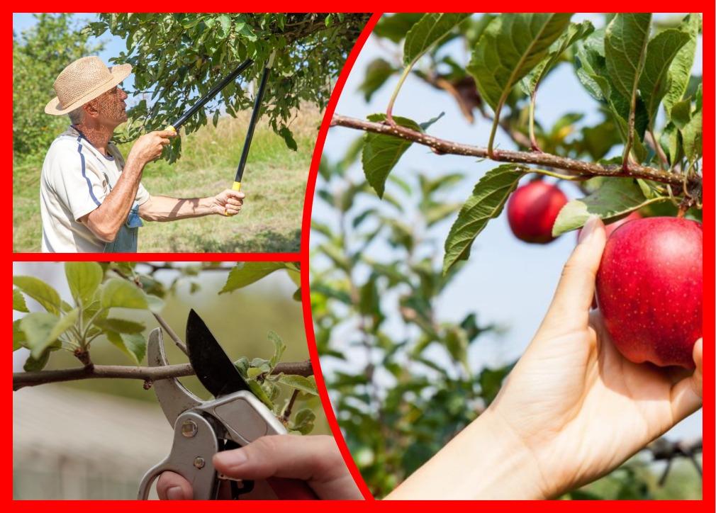 Когда, зачем и как нужно обрезать яблоню — самое важное об обрезке яблони весной
