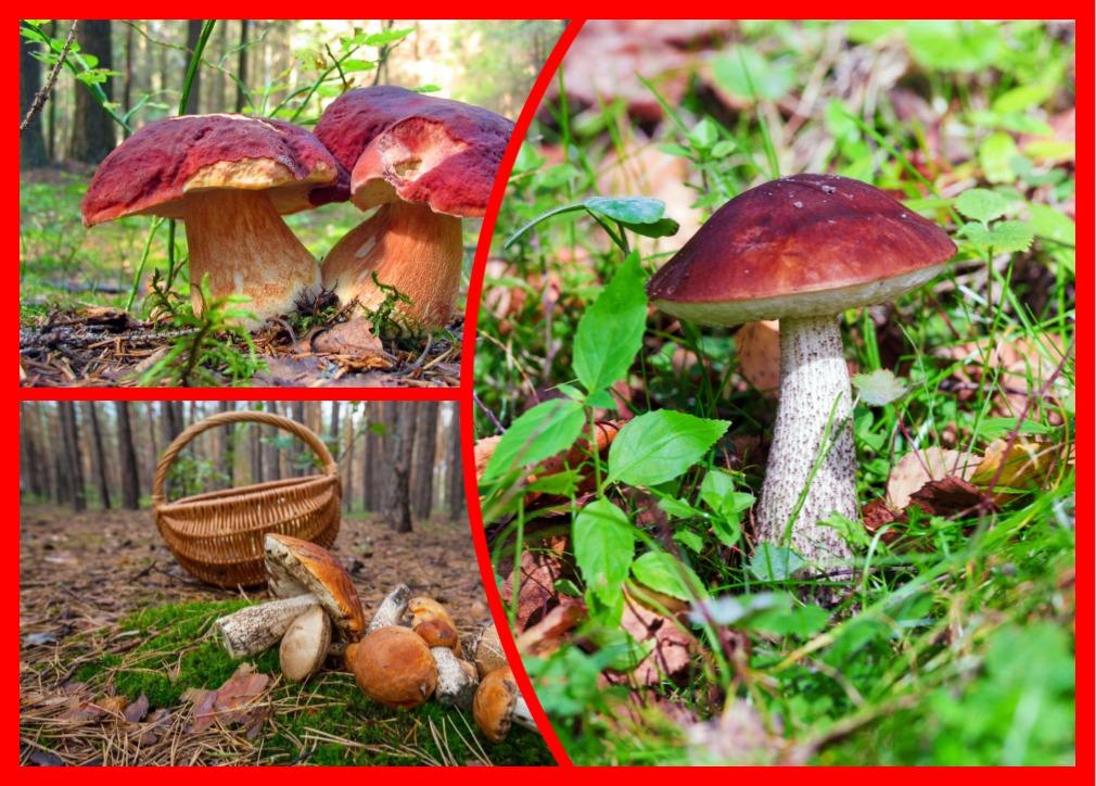 Как не обмануться: изучаем съедобные грибы с красными шляпками