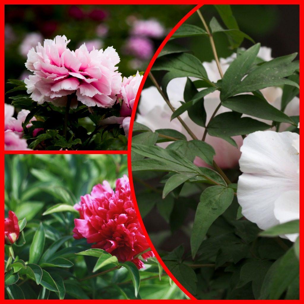 Древовидный пион в саду: описание сортов