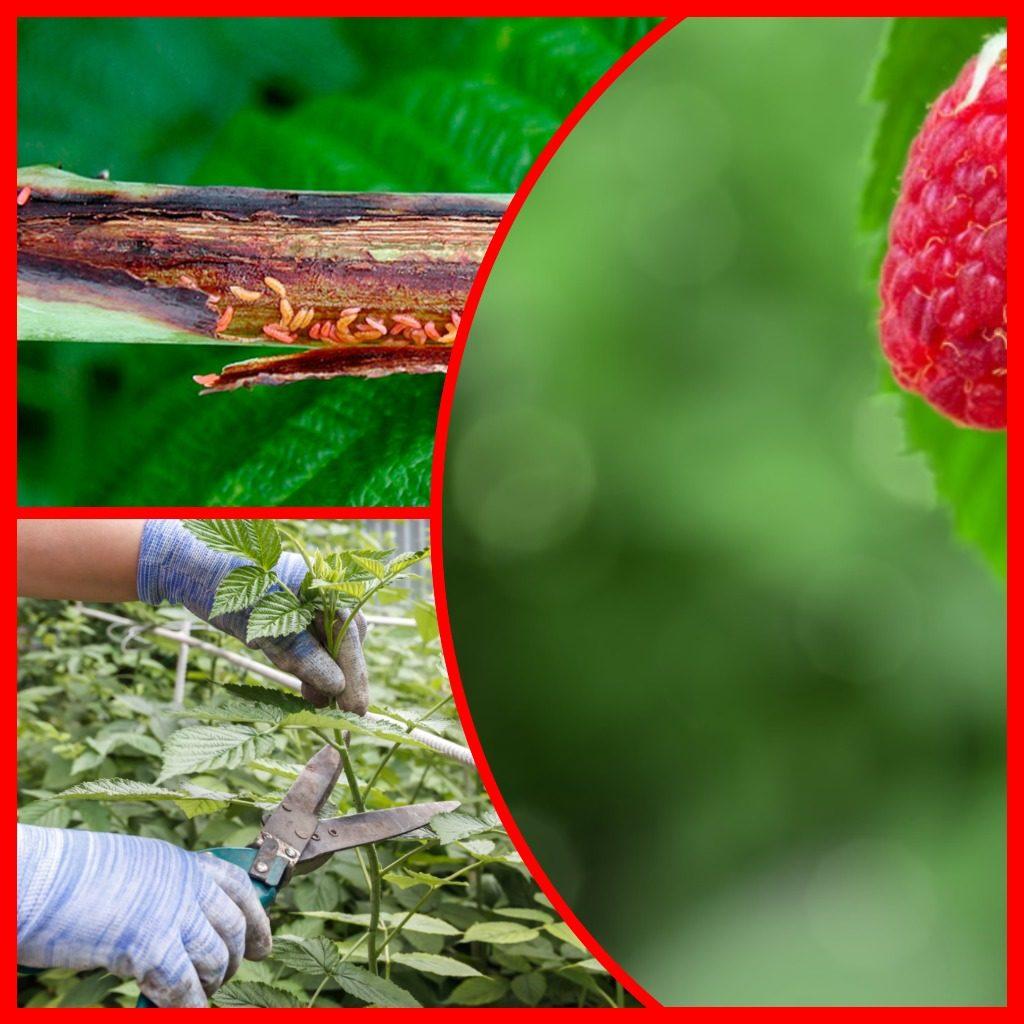 Почему у малины отмирают стебли