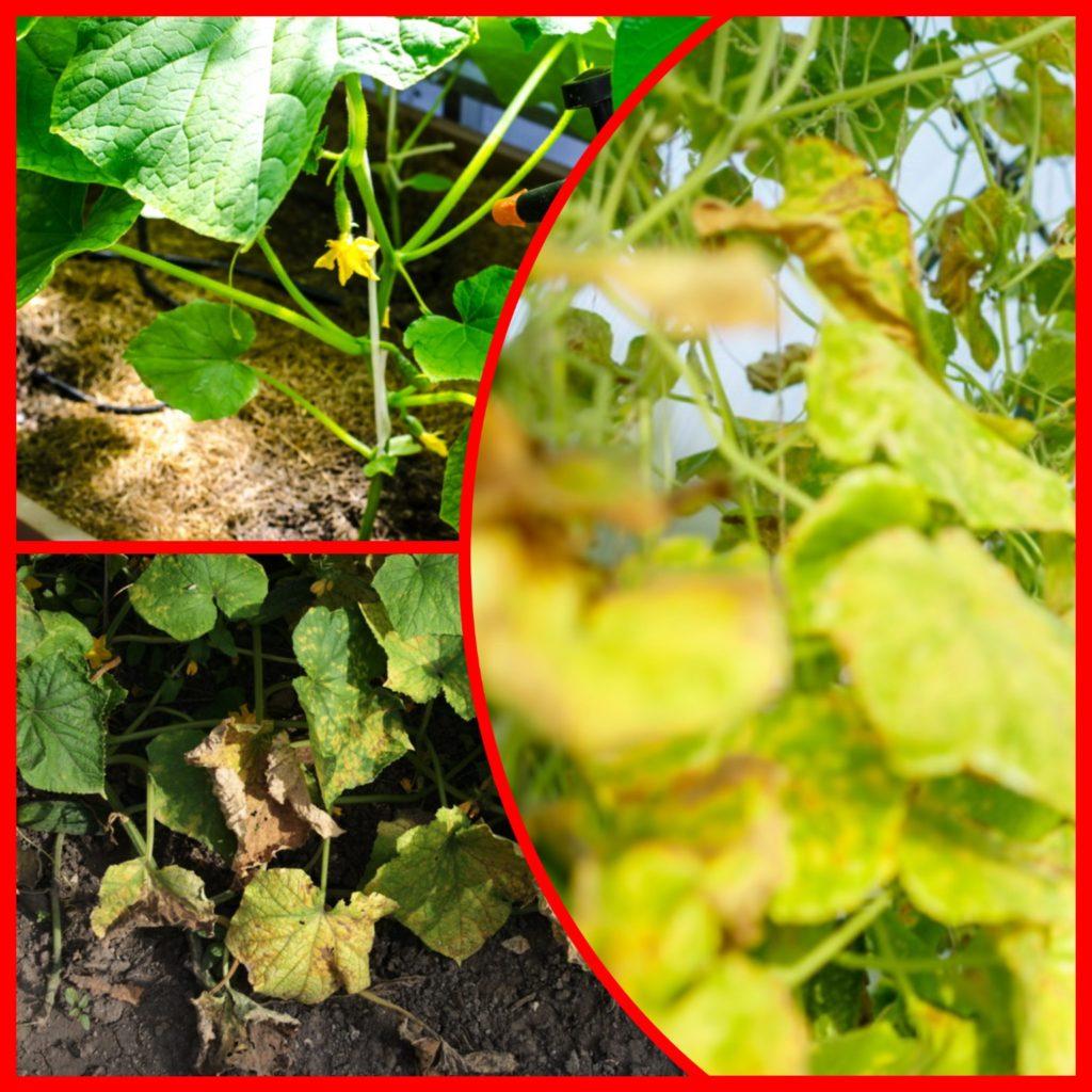 Почему желтеет листва на огурцах и как с этим бороться